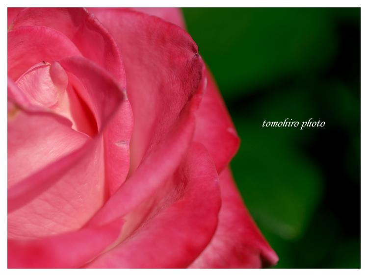 rose101106.jpg